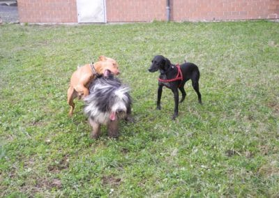 hund-und-Spielende Hunde